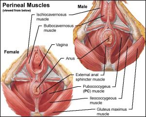 perinealmuscles